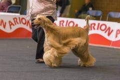 22th INTERNATIONAL DOG SHOW GIRONA 2018,Spain. 22th INTERNATIONAL DOG SHOW GIRONA March 17, 2018,Spain, Afghan hound Royalty Free Stock Photo