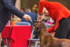 22th INTERNATIONAL DOG SHOW GIRONA 2018,Spain. 22th INTERNATIONAL DOG SHOW GIRONA March 17, 2018,Spain, african lion dog Stock Image