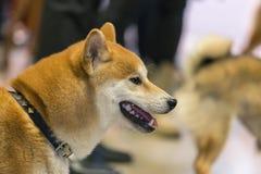 22th INTERNATIONAL DOG SHOW GIRONA March 17, 2018,Spain. Akita Stock Image