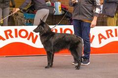 22th INTERNATIONAL DOG SHOW GIRONA 2018,Spain. 22th INTERNATIONAL DOG SHOW GIRONA March 17, 2018,Spain, Belgian shepherd, Groenendael Stock Photography