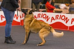 22th INTERNATIONAL DOG SHOW GIRONA 2018,Spain. 22th INTERNATIONAL DOG SHOW GIRONA March 17, 2018,Spain, Belgian shepherd Stock Image
