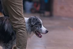 22th INTERNATIONAL DOG SHOW GIRONA March 17, 2018,Spain, Blue Merle Border Collie.  Royalty Free Stock Images