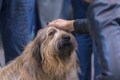 22th INTERNATIONAL DOG SHOW GIRONA March 17, 2018,Spain. Catalan Sheepdog Stock Photos