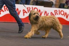 22th INTERNATIONAL DOG SHOW GIRONA 2018,Spain. 22th INTERNATIONAL DOG SHOW GIRONA March 17, 2018,Spain,Catalan sheepdog Royalty Free Stock Photography