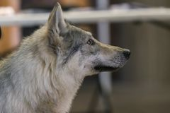 22th INTERNATIONAL DOG SHOW GIRONA March 17, 2018,Spain. Czechoslovakian wolfdog Stock Image
