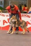 22th INTERNATIONAL DOG SHOW GIRONA 2018,Spain. 22th INTERNATIONAL DOG SHOW GIRONA March 17, 2018,Spain, Czechoslovakian wolfdog Royalty Free Stock Photo