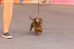 22th INTERNATIONAL DOG SHOW GIRONA 2018,Spain. 22th INTERNATIONAL DOG SHOW GIRONA March 17, 2018,Spain, Dachshund Stock Photos