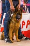 22th INTERNATIONAL DOG SHOW GIRONA 2018,Spain. 22th INTERNATIONAL DOG SHOW GIRONA March 17, 2018,Spain, German shepherd Royalty Free Stock Image
