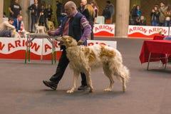 22th INTERNATIONAL DOG SHOW GIRONA 2018,Spain. 22th INTERNATIONAL DOG SHOW GIRONA March 17, 2018,Spain, Russian wolfhound Royalty Free Stock Photography