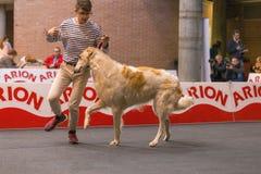 22th INTERNATIONAL DOG SHOW GIRONA 2018,Spain. 22th INTERNATIONAL DOG SHOW GIRONA March 17, 2018,Spain, Russian wolfhound Royalty Free Stock Photo
