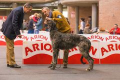 22th INTERNATIONAL DOG SHOW GIRONA 2018,Spain. 22th INTERNATIONAL DOG SHOW GIRONA March 17, 2018,Spain, Scottish deerhound Stock Images