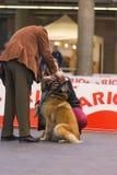 22th INTERNATIONAL DOG SHOW GIRONA 2018,Spain. 22th INTERNATIONAL DOG SHOW GIRONA March 17, 2018,Spain, Tervuren Royalty Free Stock Photography