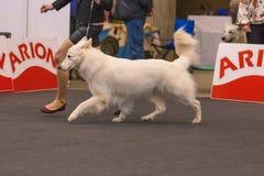 22th INTERNATIONAL DOG SHOW GIRONA 2018,Spain. 22th INTERNATIONAL DOG SHOW GIRONA March 17, 2018,Spain, White Shepherd Dog Royalty Free Stock Photo