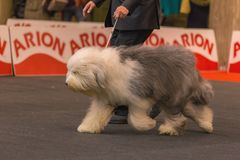 22th INTERNATIONAL DOG SHOW GIRONA 2018,Spain, Bobtail Stock Photography