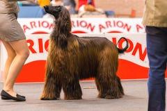 22th INTERNATIONAL DOG SHOW GIRONA 2018,Spain. 22th INTERNATIONAL DOG SHOW GIRONA March 17, 2018,Spain, Afghan hound Stock Photo