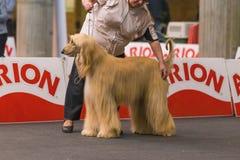 22th INTERNATIONAL DOG SHOW GIRONA 2018,Spain. 22th INTERNATIONAL DOG SHOW GIRONA March 17, 2018,Spain, Afghan hound Stock Image