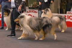22th INTERNATIONAL DOG SHOW GIRONA 2018,Spain. 22th INTERNATIONAL DOG SHOW GIRONA March 17, 2018,Spain, Blue Merle Rough Collie Royalty Free Stock Photo