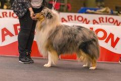 22th INTERNATIONAL DOG SHOW GIRONA 2018,Spain. 22th INTERNATIONAL DOG SHOW GIRONA March 17, 2018,Spain, Blue Merle Rough Collie Stock Photos