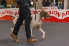 22th INTERNATIONAL DOG SHOW GIRONA 2018,Spain. 22th INTERNATIONAL DOG SHOW GIRONA March 17, 2018,Spain, Bracco italiano Stock Photo
