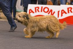 22th INTERNATIONAL DOG SHOW GIRONA 2018,Spain. 22th INTERNATIONAL DOG SHOW GIRONA March 17, 2018,Spain,Catalan sheepdog Stock Images
