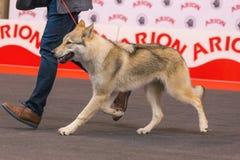 22th INTERNATIONAL DOG SHOW GIRONA 2018,Spain. 22th INTERNATIONAL DOG SHOW GIRONA March 17, 2018,Spain, Czechoslovakian wolfdog Stock Images