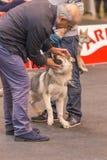 22th INTERNATIONAL DOG SHOW GIRONA 2018,Spain. 22th INTERNATIONAL DOG SHOW GIRONA March 17, 2018,Spain, Czechoslovakian wolfdog Stock Image