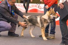 22th INTERNATIONAL DOG SHOW GIRONA 2018,Spain. 22th INTERNATIONAL DOG SHOW GIRONA March 17, 2018,Spain, Czechoslovakian wolfdog Royalty Free Stock Photos