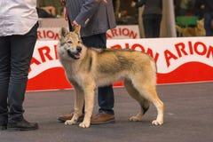 22th INTERNATIONAL DOG SHOW GIRONA 2018,Spain. 22th INTERNATIONAL DOG SHOW GIRONA March 17, 2018,Spain, Czechoslovakian wolfdog Royalty Free Stock Images