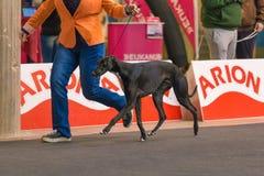22th INTERNATIONAL DOG SHOW GIRONA 2018,Spain. 22th INTERNATIONAL DOG SHOW GIRONA March 17, 2018,Spain, Greyhound Stock Image