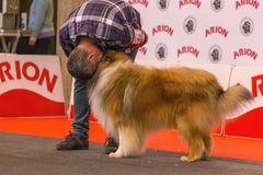 22th INTERNATIONAL DOG SHOW GIRONA 2018,Spain. 22th INTERNATIONAL DOG SHOW GIRONA March 17, 2018,Spain,  Rough collie Stock Photography