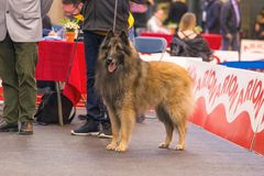 22th INTERNATIONAL DOG SHOW GIRONA 2018,Spain. 22th INTERNATIONAL DOG SHOW GIRONA March 17, 2018,Spain, Tervuren Stock Images