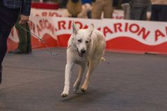 22th INTERNATIONAL DOG SHOW GIRONA 2018,Spain. 22th INTERNATIONAL DOG SHOW GIRONA March 17, 2018,Spain, White Shepherd Dog Royalty Free Stock Images