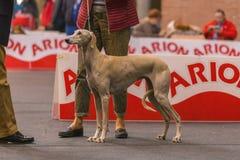 22th INTERNATIONAL DOG SHOW GIRONA 2018,Spain. 22th INTERNATIONAL DOG SHOW GIRONA March 17, 2018,Spain Royalty Free Stock Photos