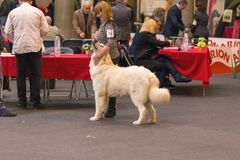 22th INTERNATIONAL DOG SHOW GIRONA 2018,Spain. 22th INTERNATIONAL DOG SHOW GIRONA March 17, 2018,Spain Royalty Free Stock Photography