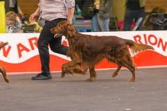 22th INTERNATIONAL DOG SHOW GIRONA 2018,Spain. 22th INTERNATIONAL DOG SHOW GIRONA March 17, 2018,Spain, Irish setter Stock Photos