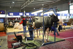 68th International Trade Fair Dairy Cattle Stock Photo