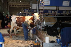 68th International Trade Fair Dairy Cattle Royalty Free Stock Photos