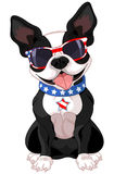 4th of July Boston Terrier Stock Photography