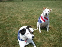 4th of July Cute Dogs American Flag Royalty Free Stock Image