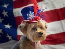 4th of July Patriotic Dog with hat- horizontal. Yorkie celebrates 4th of July with a red, white and blue hat and a flag background. Horizontal royalty free stock images
