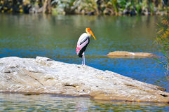 Th lonely painted stork Stock Photo