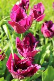 The tulips, `Curly Cue` variety in the garden Royalty Free Stock Images
