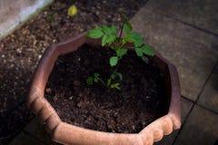 tha阴影的一点绿色植物 在花盆的绿色幼木 绿色植物的特写镜头图象土壤的 农业comcept 库存图片