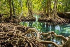 Tha pom沼泽森林Krabi泰国 免版税图库摄影