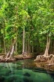 Tha Pom, floresta dos manguezais em Krabi, Tailândia Imagens de Stock Royalty Free