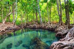 Tha Pom, la foresta della mangrovia in Krabi, Tailandia fotografia stock libera da diritti
