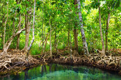 Tha Pom, the mangrove forest in Krabi, Thailand Stock Image