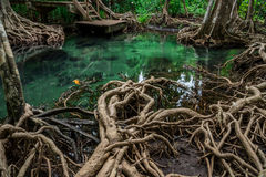 Tha pom swamp forest Krabi thailand Stock Photography