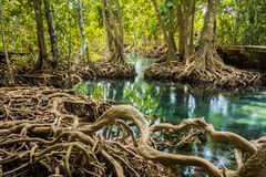 Tha pom swamp forest Krabi thailand Royalty Free Stock Photography
