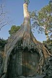 Tha Prohm, Angkor, Camboya Foto de archivo